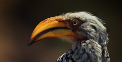 Southern Yellow-billed Hornbill     .....     looking back (Hannah 0013) Tags: southernyellowbilledhornbill canon bird male nature wildlife sunset macro hornbill coth5 128910and3to7 contact7 galaxyhall galaxyl2hall galaxystarshall