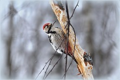 Woodpecker white-backed / Дятел белоспинный (SerenitySS) Tags: russia winter frost january woodpecker bird animal alittlebeauty avianexcellence lovely1 fabulous beautiful nice great niceshot composition fantastic coth5 saariysqualitypictures wonderful gorgeous ngc specanimal natureinfocusgroup gallery fantasticnature