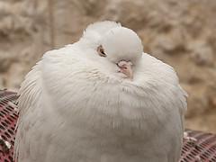 Thermal Insulation (zeevveez) Tags: זאבברקן zeevveez zeevbarkan canon dove pigeon