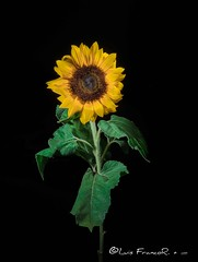 Esperando el sol en la oscuridad  -  Waiting for the sun in the dark (Luis FrancoR) Tags: sunflower girasol flores flowers luisfrancor ngw ngs ngd ngg ng ngc ngo