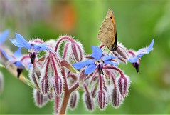 Summertime blues. (pstone646) Tags: butterfly fauna flora flowers nature animal insect wildlife bokeh brown green blue