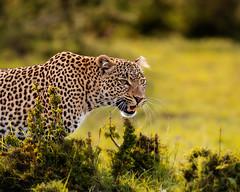 Leopard female (Photobirder) Tags: leopardfemale fig masaimara kenya eastafrica