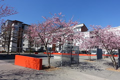 Cherry blossom @ Avenue de France @ Annecy (*_*) Tags: spring printemps 2019 march sunny europe france hautesavoie 74 annecy savoie cherry cerisier fleur blossom pink rose bloom