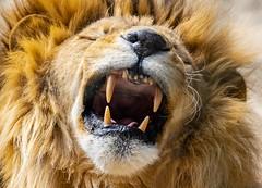 De mauvaise humeur ! (Cri.84) Tags: lapalmyre charentemaritime lion