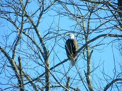 IMG_4247 (rpealit) Tags: scenery wildlive nature delaware water gap national recreation area bald eagle thunder mountain bird