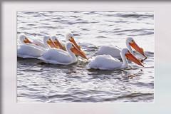pelicans at Big Bear Lake (Karon Elliott Edleson) Tags: pelicans birds bigbearlake ca 70300mm canon