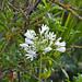 Flower (Goba)
