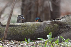 What's going on in the woodpile....? (Melinda G Pix) Tags: woodduck wood duck waterfowl bird waterfowlphotography hunting nature outdoor