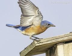 Eastern Bluebird IMG_4054a (ronzigler) Tags: thrush songbird nature birdwatcher avian wildlife bluebird eastern bird watcher