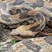 Timber Rattlesnake 1126