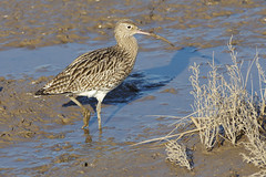 K32P0976c Curlew, RSPB Titchwell, February 2019 (bobchappell55) Tags: wild bird wildlife nature norfolk rspb titchwell wader curlew numeniusarquata marsh