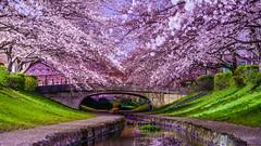 Under Sakura trees (aotaro) Tags: a7iii night flowers flower sony sakuratrees sel70300g nightshot yokohama cherryblossoms river egawaseseragiryokudo ilce7m3 tulips sakura japan fullbloom