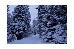 Wintry morning walk (balu51) Tags: winter morgenspaziergang frischverschneit wald bäume tannen schnee blauestunde graubünden märz 2019 copyrightbybalu51