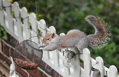 Must have peanuts (huscroftmick) Tags: squirrel grey garden peanuts feeding