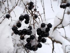 közönséges fagyal / wild privet (debreczeniemoke) Tags: tél winter hó snow fehér white erdő forest bokor bush bogyó fruit közönségesfagyal wildprivet ligustrumvulgare ajakosvirágúak árvacsalánvirágúak lamiales olympusem5