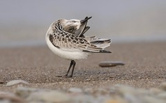 Every . Single . Feather (Slow Turning) Tags: calidrisalba sanderling immature bird migrant migrate migration beach lake water sand preening southernontario canada summer