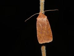Chestnut (Conistra vaccinii) (Julian Hodgson) Tags: chestnut conistravaccinii lepidoptera noctuidae cuculliinae insect moth monkswood nationalnaturereserve sawtry cambridgeshire england unitedkingdom sonydschx400v raynoxdcr150