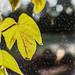 Leaves (p)