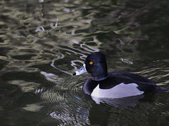 Greater Scaup (jamestapatio) Tags: