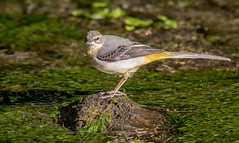 DSC8177  Grey Wagtail.. (Jeff Lack Wildlife&Nature) Tags: greywagtail wagtail wagtails birds avian animal animals wildlife wildbirds wetlands waterbirds waterways wildlifephotography jefflackphotography riverbirds rivers streams countryside nature