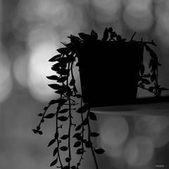 Senecio herreanus (Tokinette) Tags: macrophotography senecio plante grasse herreanus bokeh macro f28