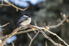 Chickadee (Jacques P Raymond) Tags: chickadee bird animal nature wildlife inglewood calgary canada outdoor
