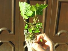 Wasabia japonica mazuma (meizzwang) Tags: wasabia japonica mazuma wasabi real deal cultivation outdoors northern california