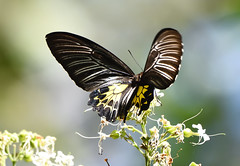 southern birdwing (praveen.ap) Tags: southernbirdwing birdwing insect butterfly wayanad edakkalcave