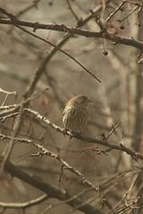 Bird (historygradguy (jobhunting)) Tags: easton ny newyork upstate washingtoncounty bird animal tree