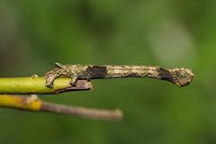 IMG_4727  尺蛾科 Geometridae (vlee1009) Tags: 2019 60d canon march nantou taiwan nature caterpillars moths