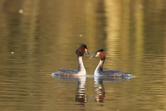 great crested grebe (simonrowlands) Tags: great crested grebe podicepscristatus lakes coasts reservoirs canals