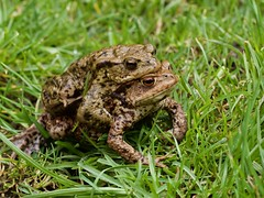 Common Toad (wildlifelynn) Tags: commontoad bufobufo derbyshire adults amphibians toads fairlycommon numbersindecline widespread inland urban rural brownfieldsites dampenvironments gardens parkland scrubland woodland ditches dykes ponds lakes slowmovingwater variablecolouring darkbrown greyishbrown reddishbrown sandycoloured broadsquatbody longbacklegs slightlywebbedbackfeet wartyskin roundedsnout beautifullymarkedeyes orangeorgoldeneyes ungainlywalk shortjumps inconspicuous camouflaged usuallynocturnal predator predatory invertebrates insectlarvae spiders slugs earthworms forageforfood mostlysolitary largelyterrestrial excavateshallowburrows annualmigrations breedingponds traditionalsites largegatherings glutinouseggstrings spawn tadpoles metamorphosis earlyspring lakeside malefemale paired inamplexus headingtowater goingtospawn closeencounter lowpov macro