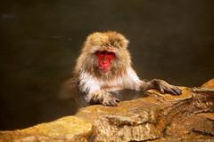 Monkey taking a bath (Vera Rong Wang) Tags: monkey monkeyonsen jigokudani 地獄谷野猿公苑