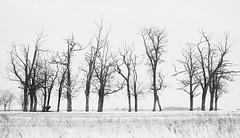 Magic trees (Dana Cristea) Tags: otvesti timis romania winter snow trees bnw blackandwhite blackwhite white black photography beauty minimal mist fog details fujifilm fujifilmromania fuji fujifilmxt10