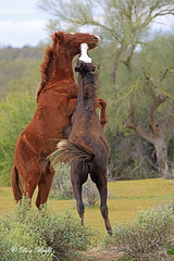 Showing off for the ladies (littlebiddle) Tags: arizona saltriver wildhorses nature wildlife horse mammal equine