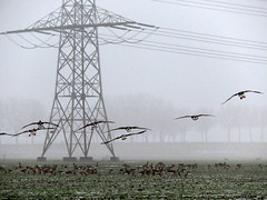 's Heerenhoek (Omroep Zeeland) Tags: opvliegende ganzen de mist