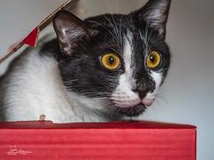 Lucky in the box (Adi Arba) Tags: caturday jackinthebox 40150 40150mm mzuiko m olympus gx9 panasonicgx9 panasonic lumix red lucky pet box silly cat