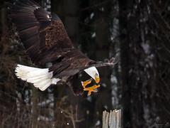 Bruce Bald Eagle CRC IMG_3550 (Jennz World) Tags: ©jennifermlivick canadianraptorconservancy vittoria ontario canada baldeagle eagle raptor bird winter snow