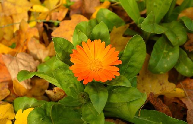 Обои Осень, Листья, Autumn, календула, Leaves, Orange flower, Оранжевый цветок, Calendula картинки на рабочий стол, раздел цветы - скачать