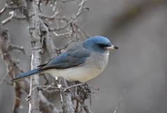 Mexican Jay (Christopher Lindsey) Tags: jay mexicanjay birds birding arizona maderacanyon proctor pimacounty