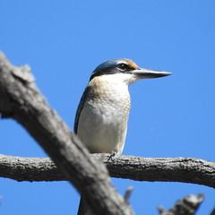 Sacred Kinfisher (C.Mulvogue) Tags: kingfisher sacredkingfisher charlton victorianbirds