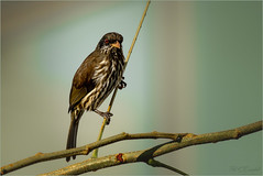 Palmchat (soupie1441) Tags: bird animal nature wildlife palmchat dominicanrepublic nikon d750 200500mm nikkor
