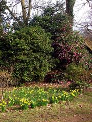 Winkworth Arboretum (Tony's Trains and Buses) Tags: winkworth arboretum spring nationaltrust daffodils