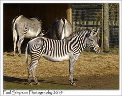 Yorkshire Zebras (Paul Simpson Photography) Tags: zebras zebra animals african nature paulsimpsonphotography lumixtz30 doncasterwildlifepark naturalworld equine zoo february2019 rescuecentre animalwelfare grass animal africananimal