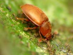 Nitidulid Beetle (treegrow) Tags: rockcreekpark washingtondc nature lifeonearth raynoxdcr250 arthropoda insect beetle coleoptera epuraea nitidulidae