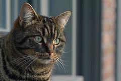 Early spring evening sunbath (johco266) Tags: poes kat cat chat gato katze gardensafari garden nikon pet backyard coth alittlebeauty coth5
