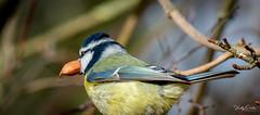 🇬🇧 Blue tit with a nut (vickyouten) Tags: bluetit nature naturephotography wildlife wildlifephotography britishwildlife nikon nikond7200 nikonphotography nikkor55300mm burtonwood warrington uk vickyouten