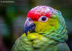 Head Colours (JKmedia) Tags: parrot head colours feathers plumage portrait profile avian bird beak hooked colourful boultonphotography newquayzoo 2019 sonyrx10iii bokeh