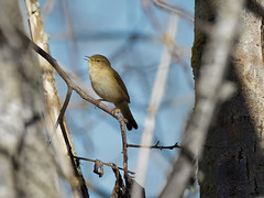 Topaz AI test (2/2) : a Chiffchaff (Franck Zumella) Tags: nature bird small oiseau petit warbler pouillot fitis veloce animal wildlife spring color printemps couleur chiffchaff sony a7s a7 tamron 150600 branch branche tree arbre sing singing chanter chant winter hiver topaz gigapixel sharpen ai ia