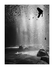 Requiem pour une ombre. (Scubaba) Tags: europe france pasdecalais noirblanc noiretblanc bw blackwhite nausicaa poissons fishes